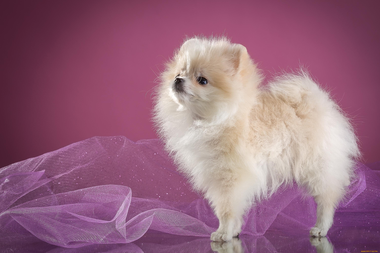 видов, картинки собак шпиц белых один